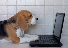 beagle-con-el-ordenador-portátil-85759960
